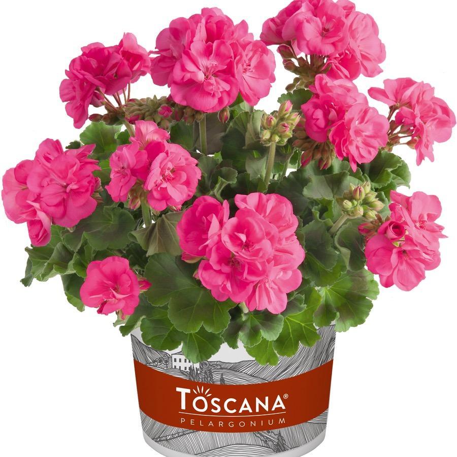 Geranium droit Trend Hot Pink - Plante annuelle