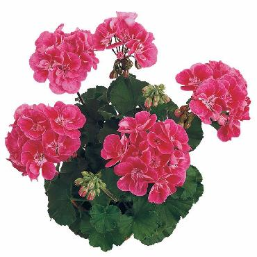Geranium droit Dark Castello Rose Eye - Plante annuelle