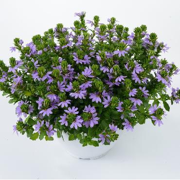 Scaevola Blue Touch - Plante annuelle