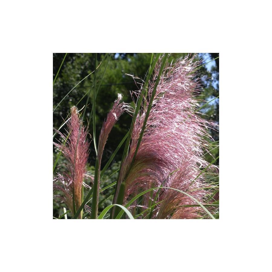 Cortaderia selloana Rosea