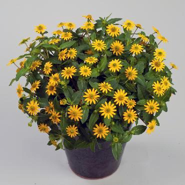 Sanvitalia Talya Great Yellow - Plante annuelle