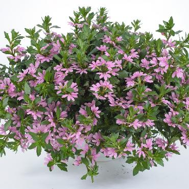 Scaevola Pink Blessing - Plante annuelle