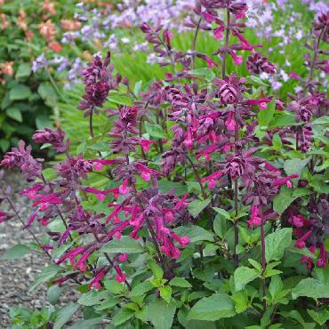 Salvia Love and Whishes - Plante annuelle