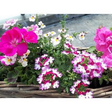Jardinière rose - Plante annuelle
