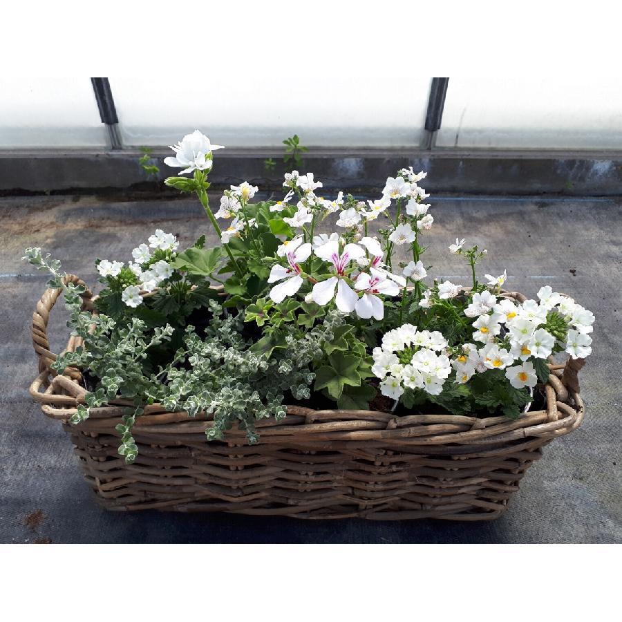 Jardinière blanche - Plante annuelle