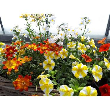 Jardinière jaune - Plante annuelle