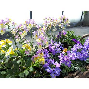 Jardinière bleue - Plante annuelle