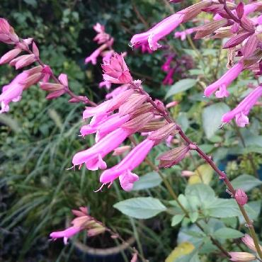 Salvia Kisses and Wishes - Plante annuelle
