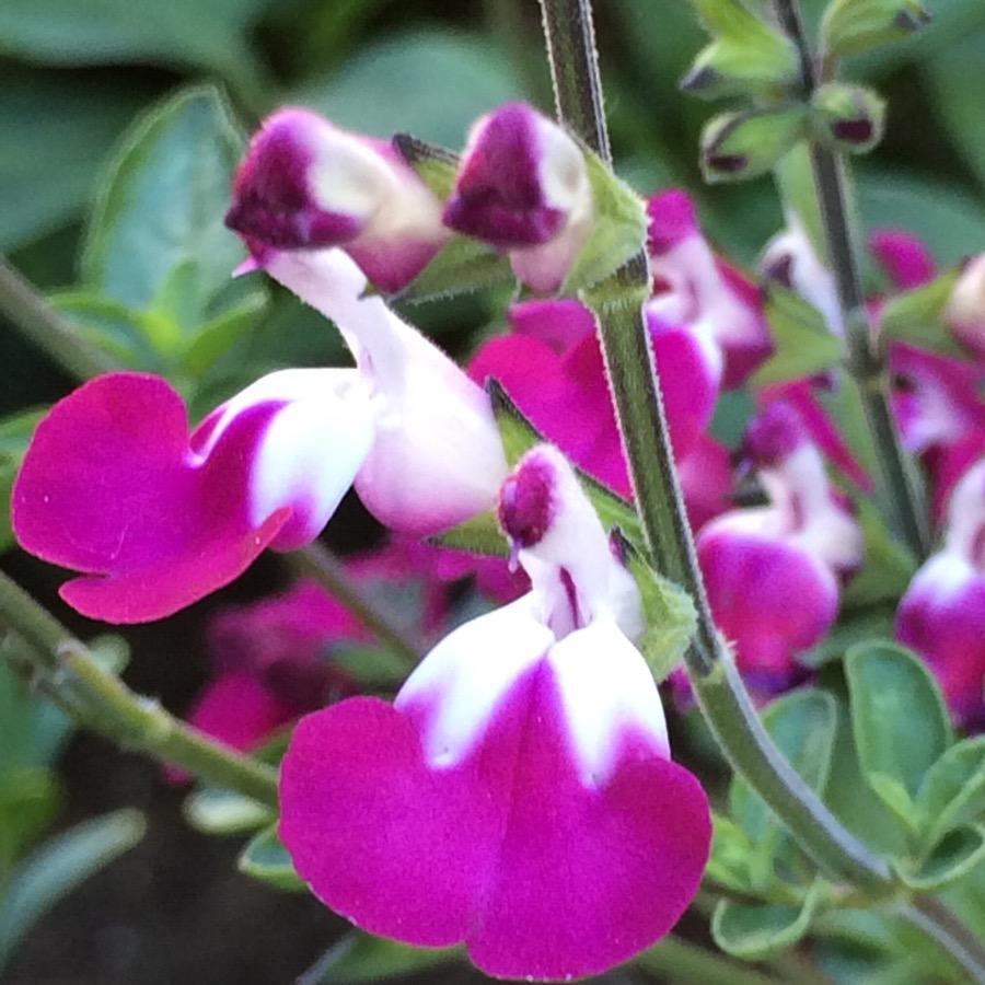 Salvia microphylla Cherry Lips - Plante annuelle