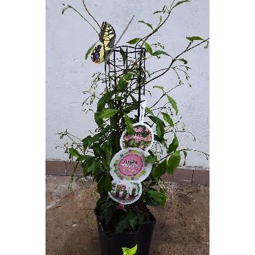 Trachelospermum - Jasmin rose