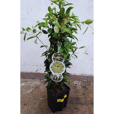 Trachelospermum - Jasmin blanc