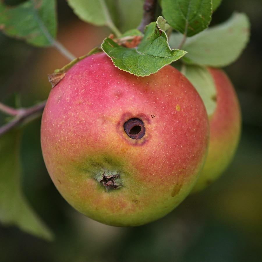 Piège à phéromones carpocapse des pommes et des poires