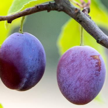 Piège à phéromones carpocapse des prunes