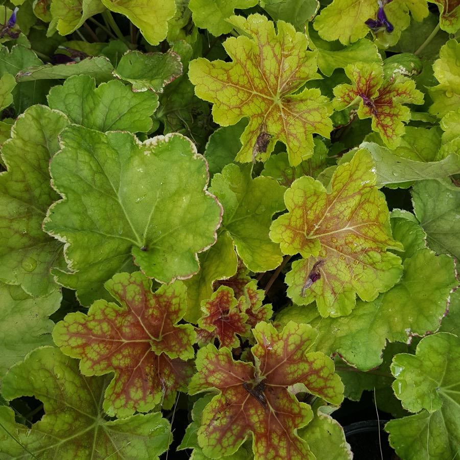 Heuchera Happy Flames