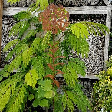 Fleur phlox à piquer en fer rouillé