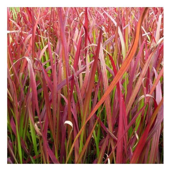 foto de Imperata cylindrica Red Baron (Rubra)