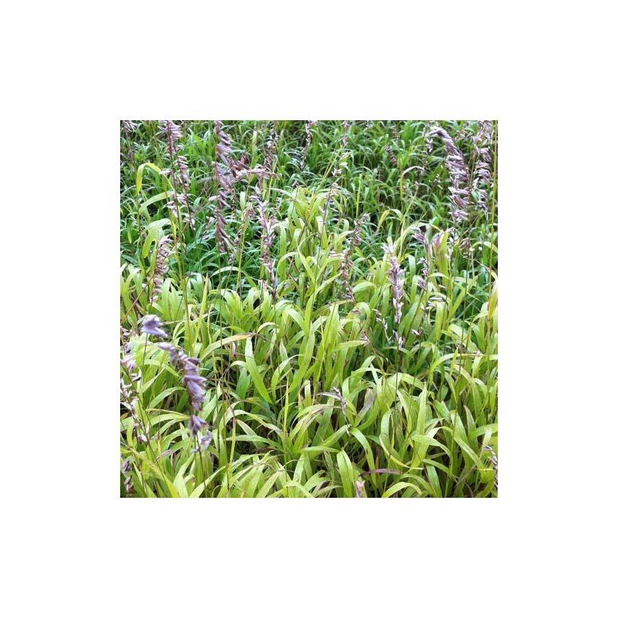 Melica altissima Atropupurea