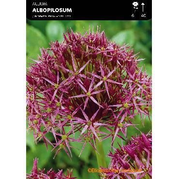 Ail d'ornement - Allium christophii (Allium albopilosum)