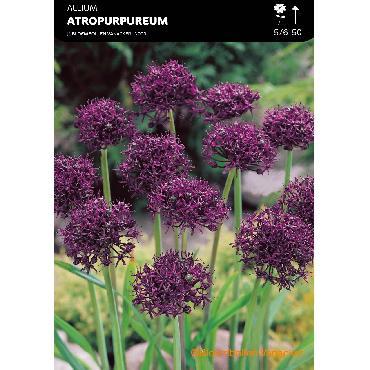 Ail d'ornement - Allium Atropurpureum