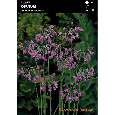 Ail d'ornement - Allium Cernuum (Recurvatum)