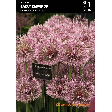 Ail d'ornement - Allium Early Emperor