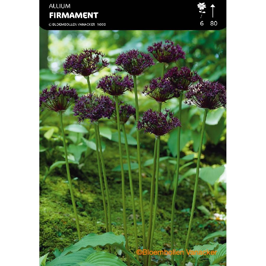 Ail d'ornement - Allium Firmament