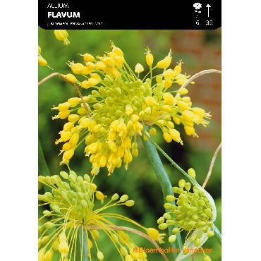 Ail d'ornement - Allium Flavum