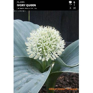 Ail d'ornement - Allium...