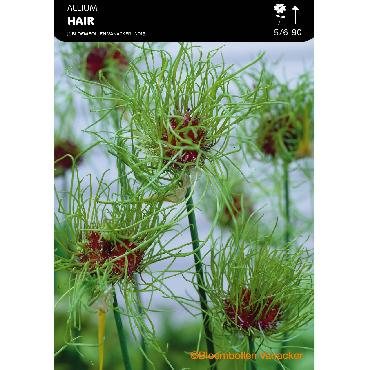 Ail d'ornement - Allium Hair