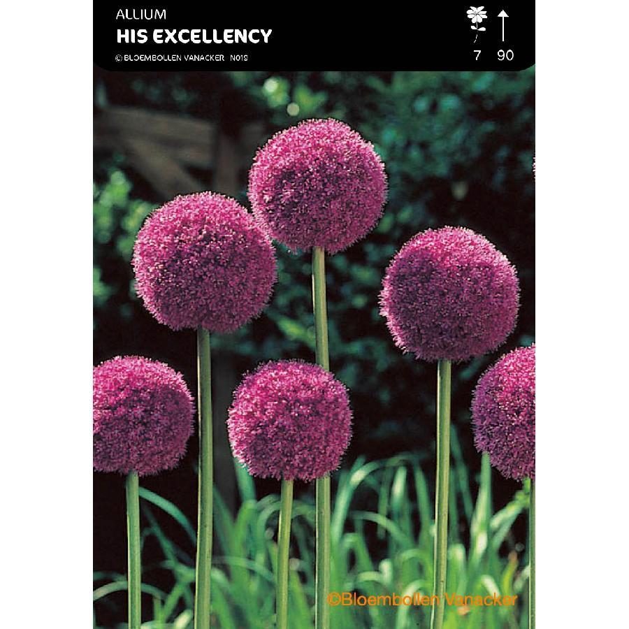 Ail d'ornement - Allium His Excellency