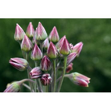 Ail d'ornement - Allium Nectaroscordium (Siculum)