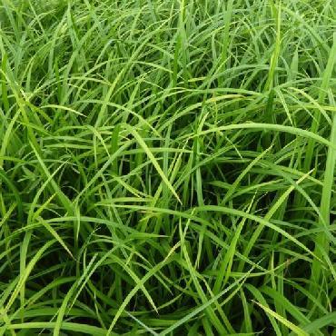 Carex sylvatica