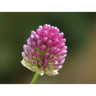 Ail d'ornement - Allium Sphaerocephalon