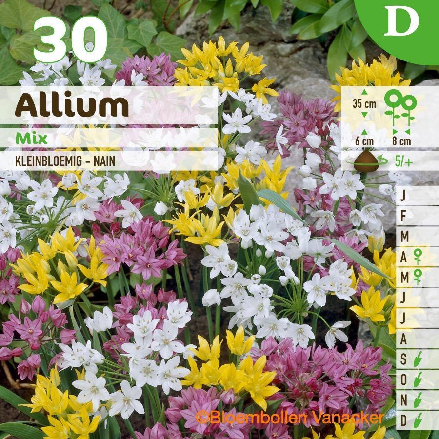 Ail d'ornement - Allium mix couvrant