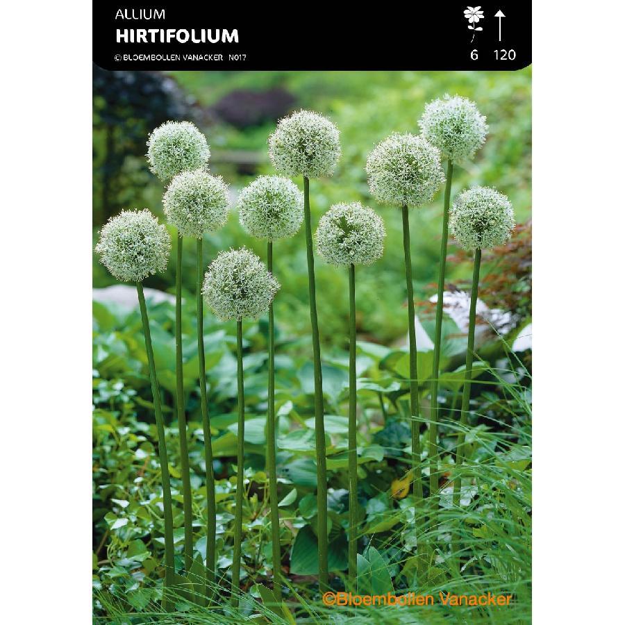 Ail d'ornement - Allium Hirtifolium Album