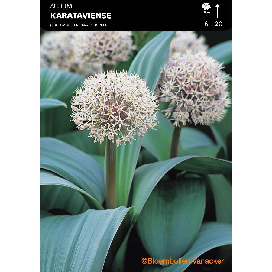 Ail d'ornement - Allium Karataviense