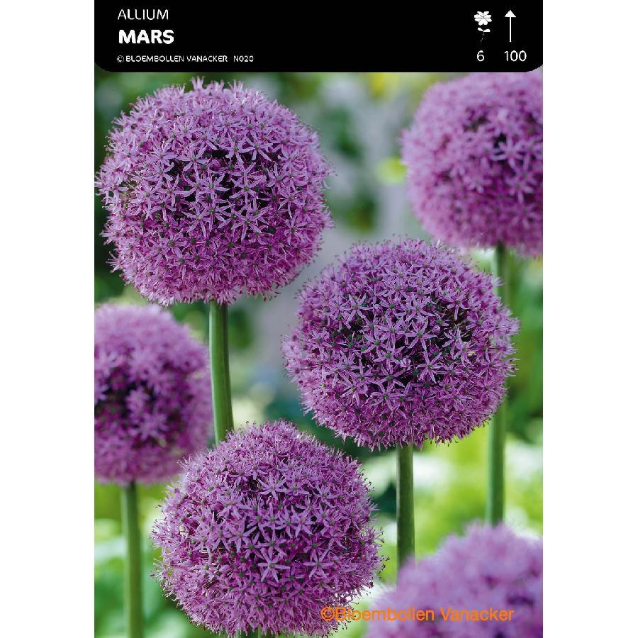 Ail d'ornement - Allium Mars