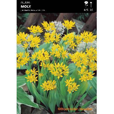 Ail d'ornement - Allium Moly (Allium Luteum)