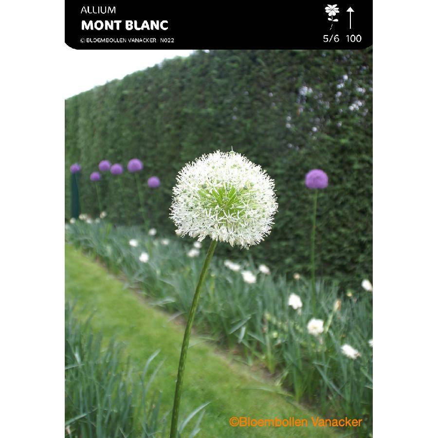 Ail d'ornement - Allium Mont Blanc