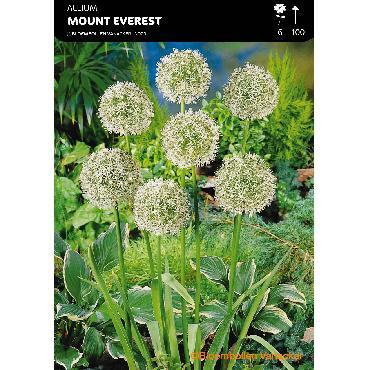 Ail d'ornement - Allium Mount Everest