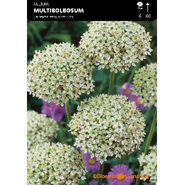 Ail d'ornement - Allium Multibulbosum (Allium Nigrum)