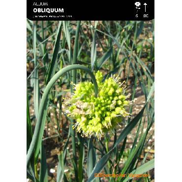 Ail d'ornement - Allium Obliquum