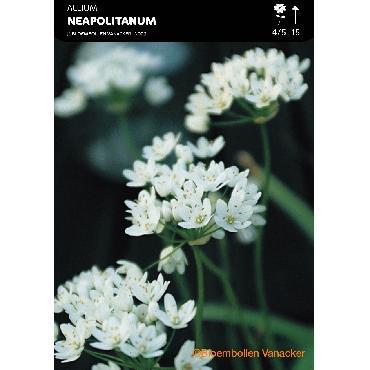 Ail d'ornement - Allium Neapolitanum