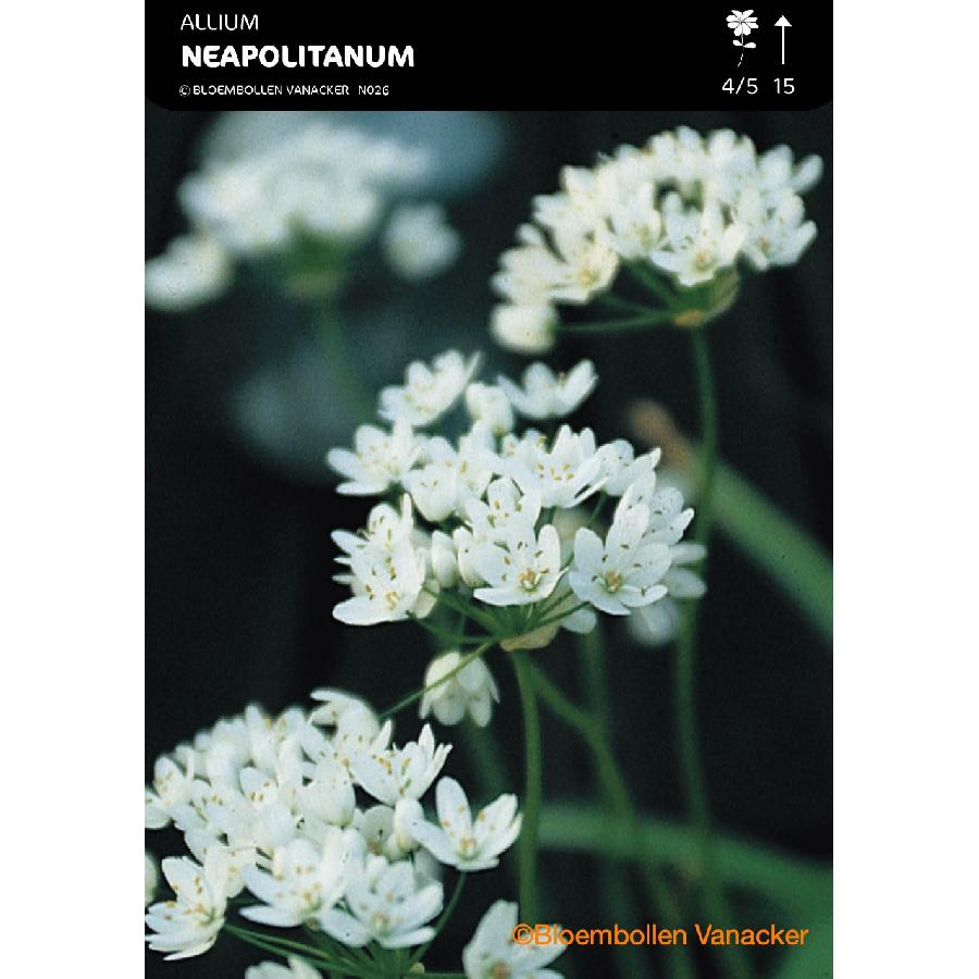 Ail d'ornement - Allium Neapolitanum