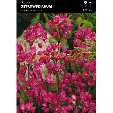 Ail d'ornement - Allium Ostrowskianum (Allium Oreophilum)