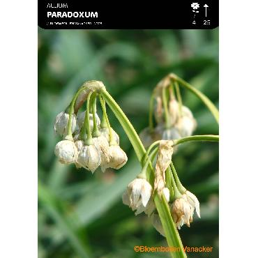 Ail d'ornement - Allium Paradoxum