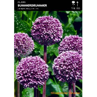 Ail d'ornement - Allium Summer Drummer
