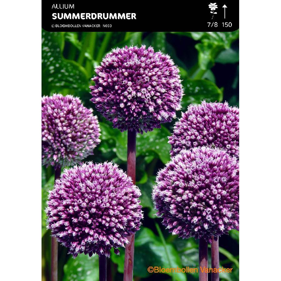 Ail d'ornement - Allium Summer Drummer