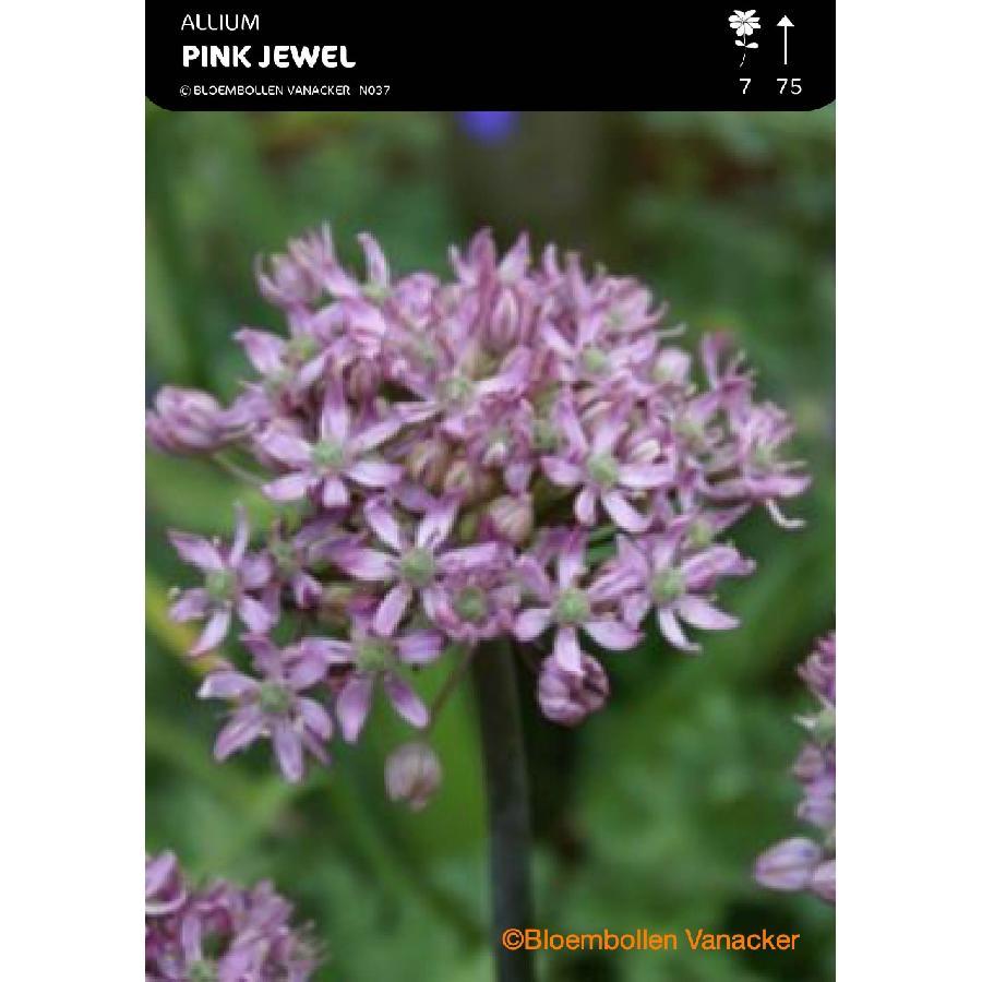 Ail d'ornement - Allium Pink Jewel