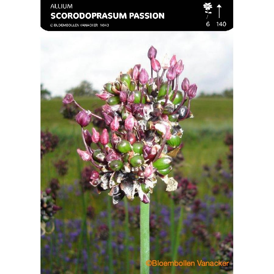 Ail d'ornement - Allium Scorodoprasum Art